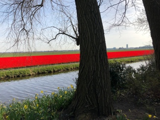 A Red Ribbon of Tulips